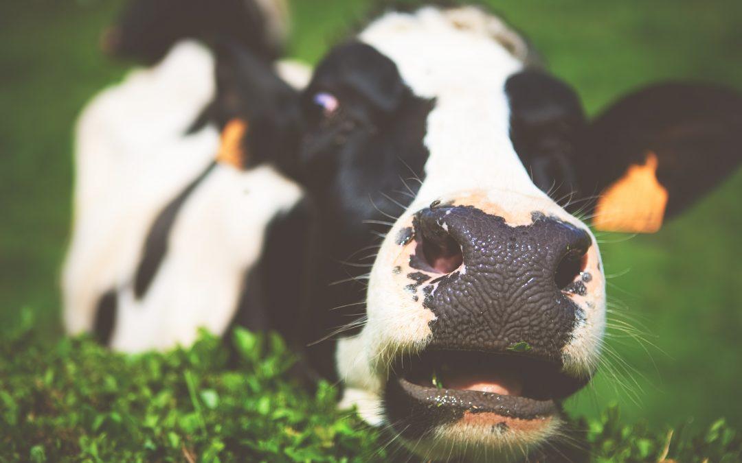 Kotimaisen lihantuotannon ekologisuus on pelkkä myytti
